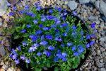 Секреты выращивания рассады лобелии для посадки в саду